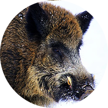 Driven Wild Boar Hunting in Bulgaria