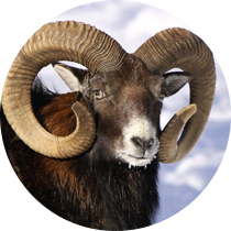 Mouflon Hunting in Bulgaria