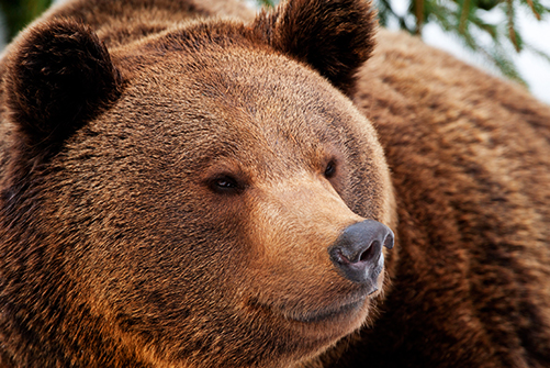 chasse aux ours en Bulgarie