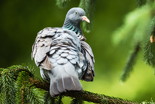 Wood Pigeon Hunting in Bulgaria