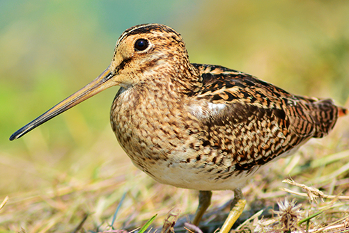 Snipe Hunting in Bulgaria