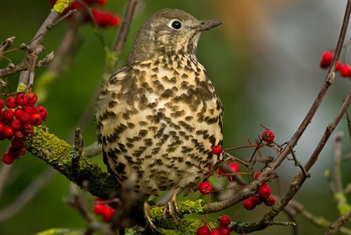 Hunting Thrushes in Romania