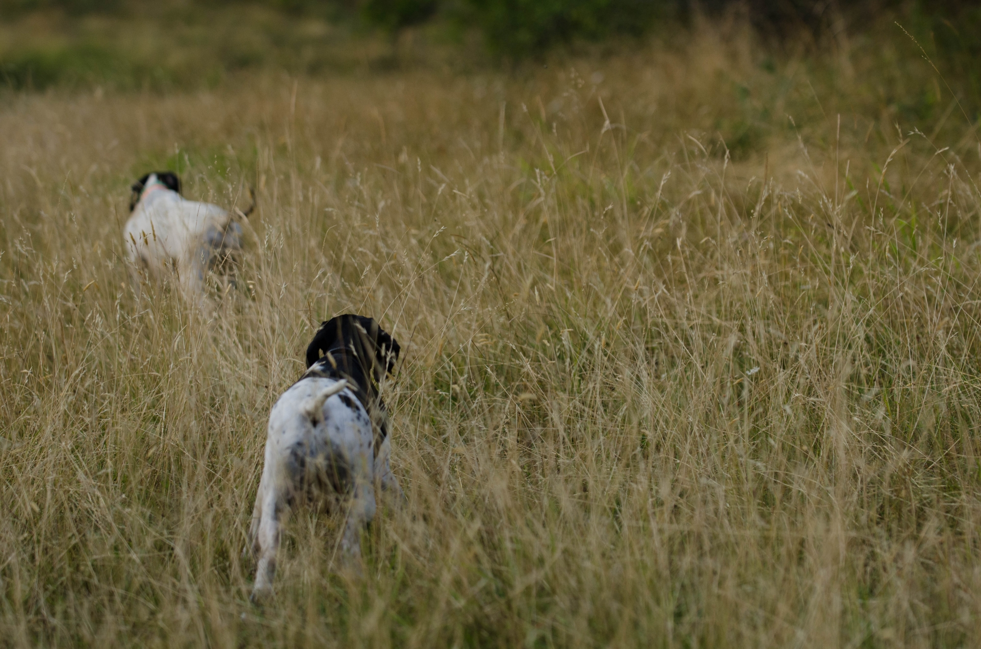 Hunting Quails with Pointing Dog