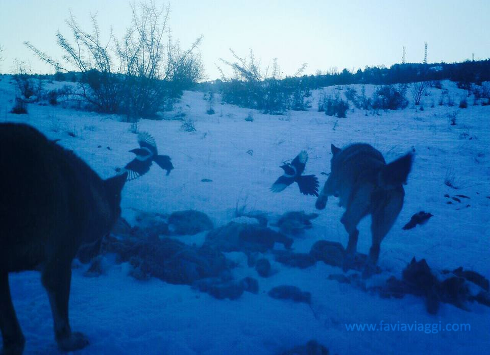 Hunting Wolves in Macedonia