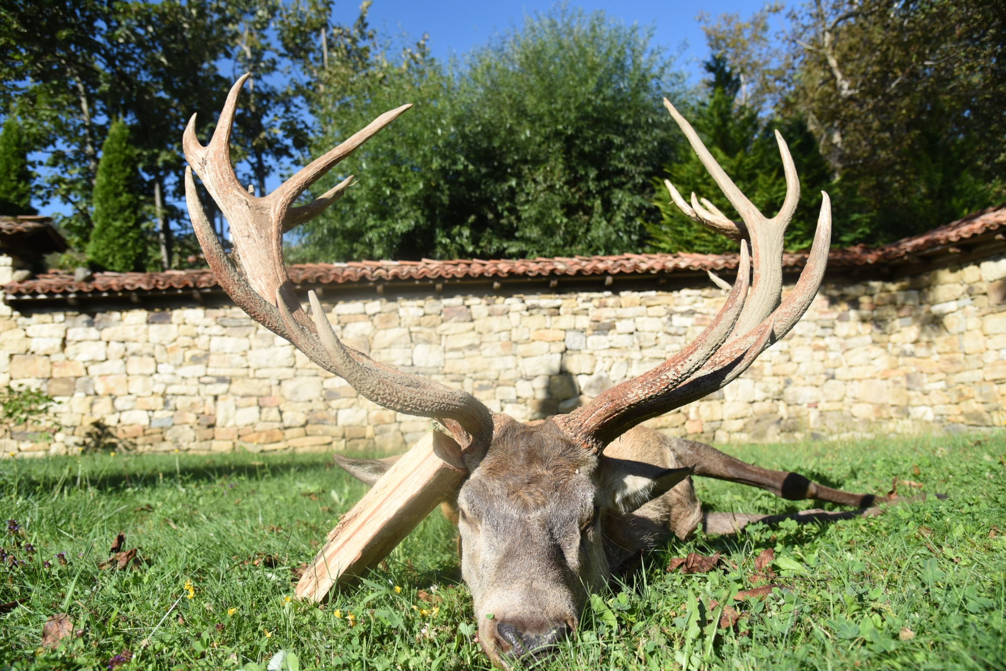 Red Stag Hunting Trophy