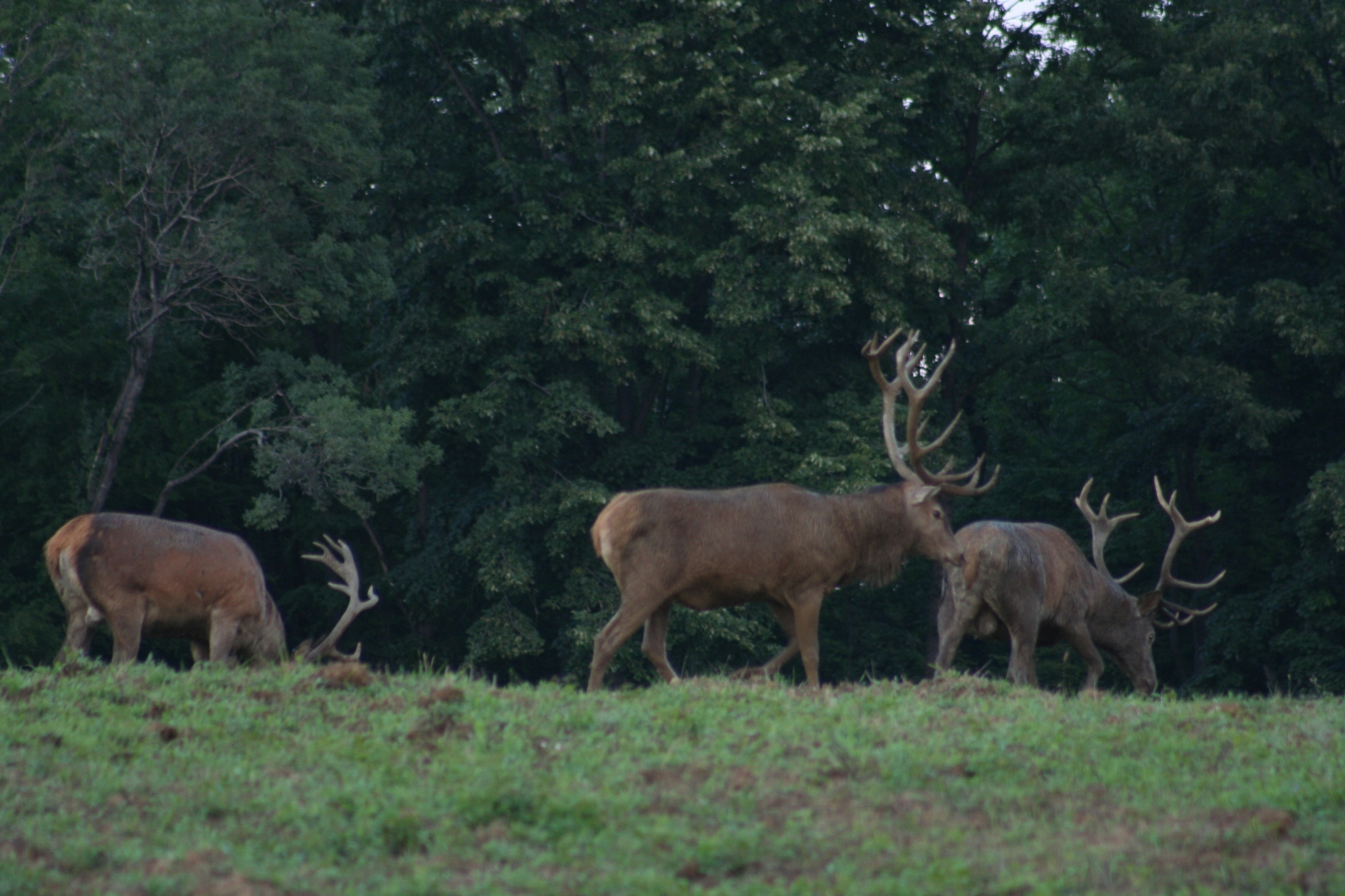Hunting for Rutting Red Stags