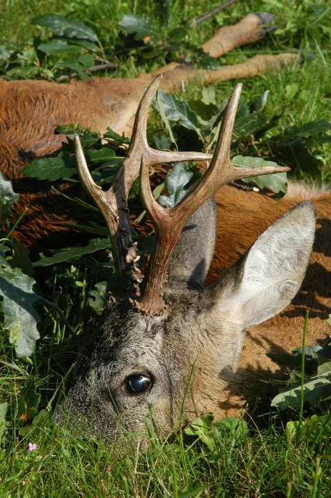 Big Game Hunting Roe Deer Trophy in Europe