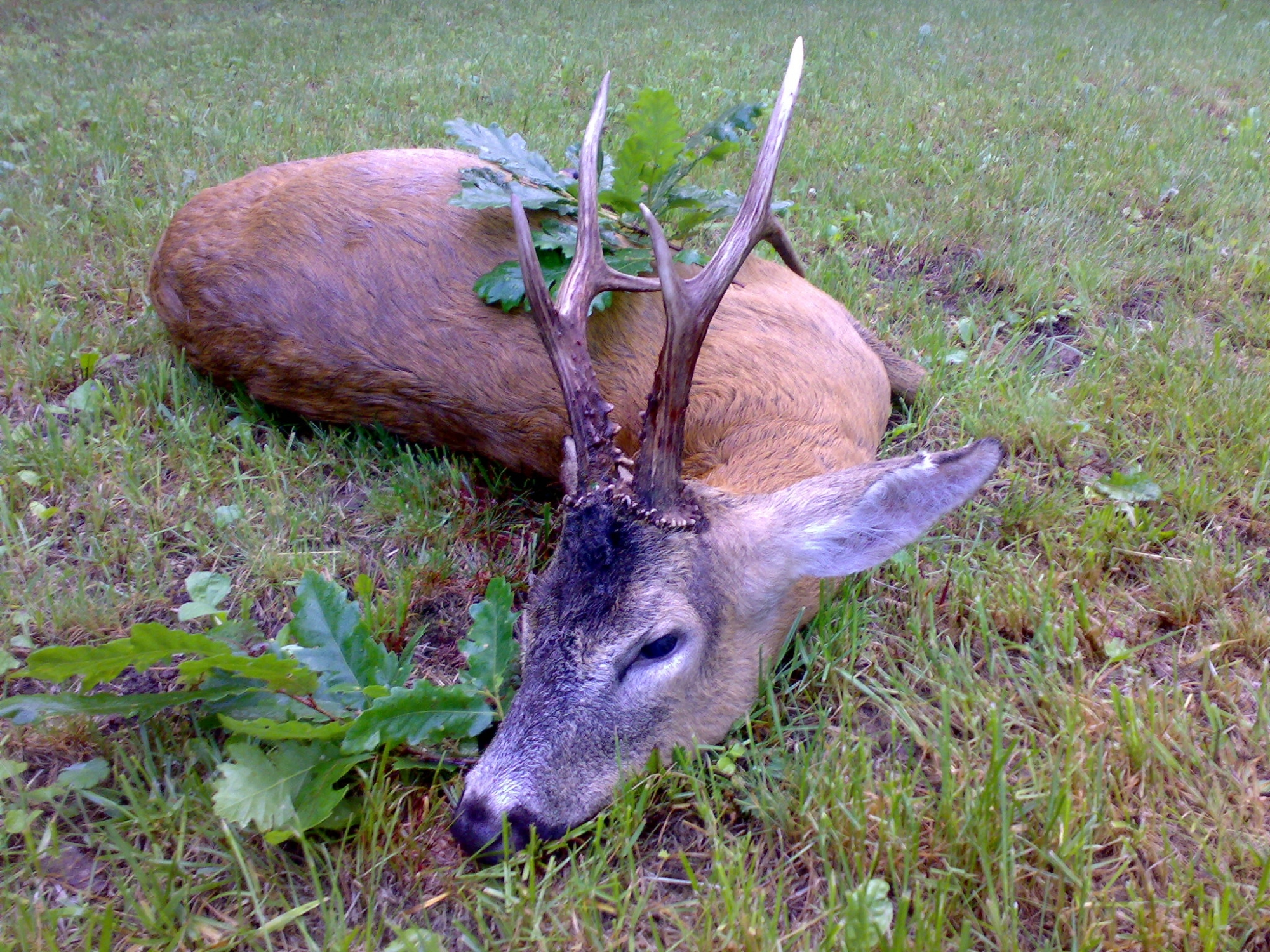 Hunting Roe Deer Trophy
