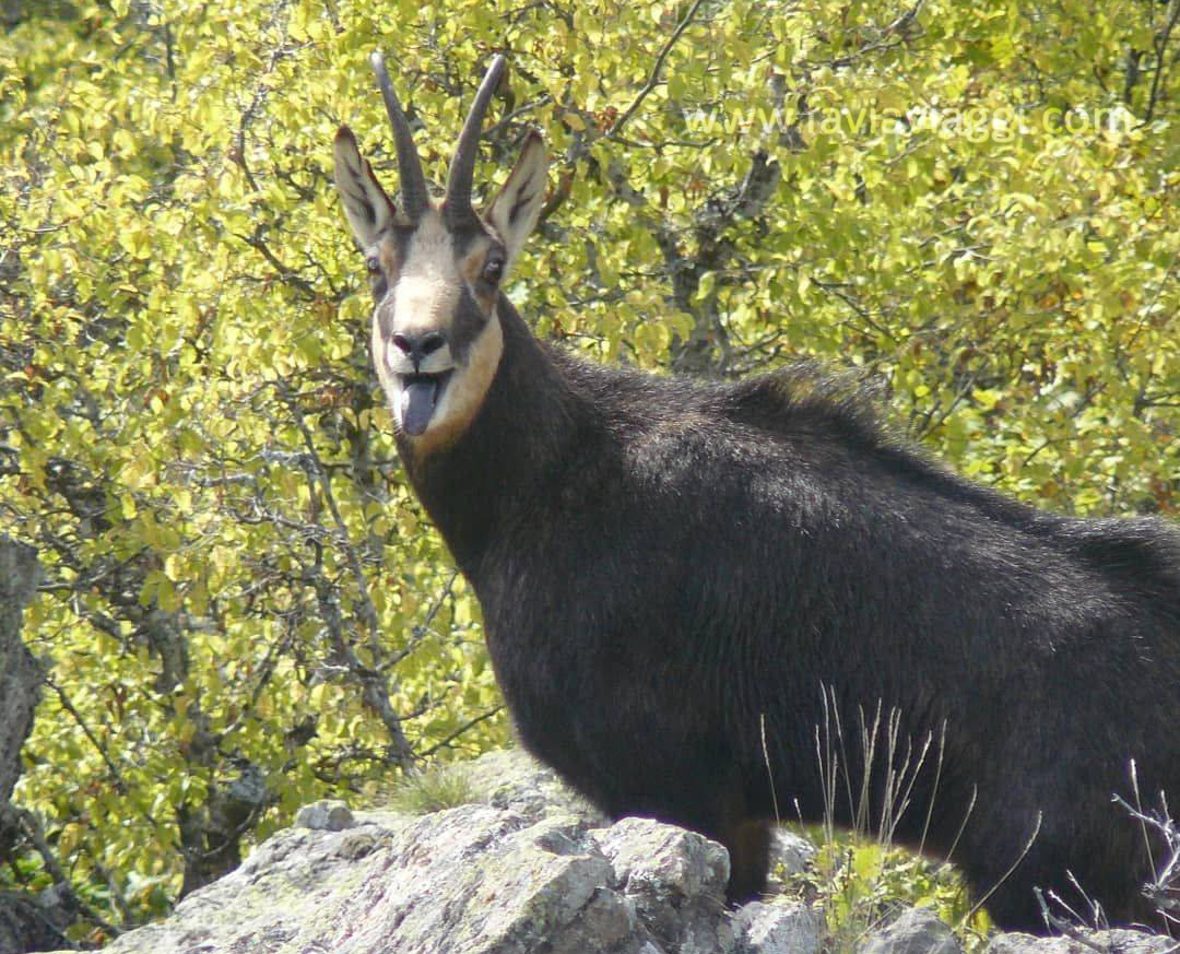 Chamois Hunting Reserve