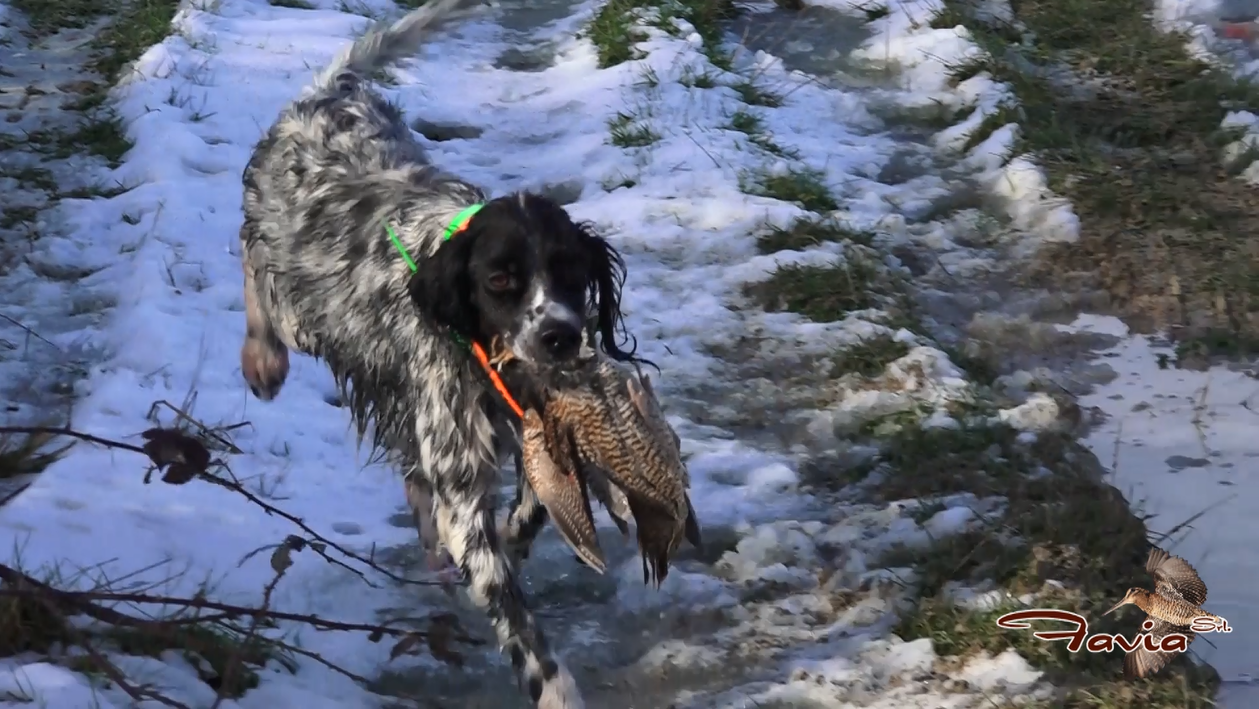 Woodcock Pointing Dog Hunt