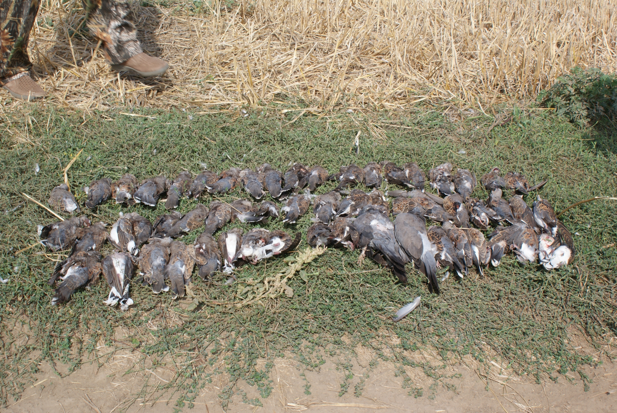 Turtle-Dove Hunt in Bulgaria