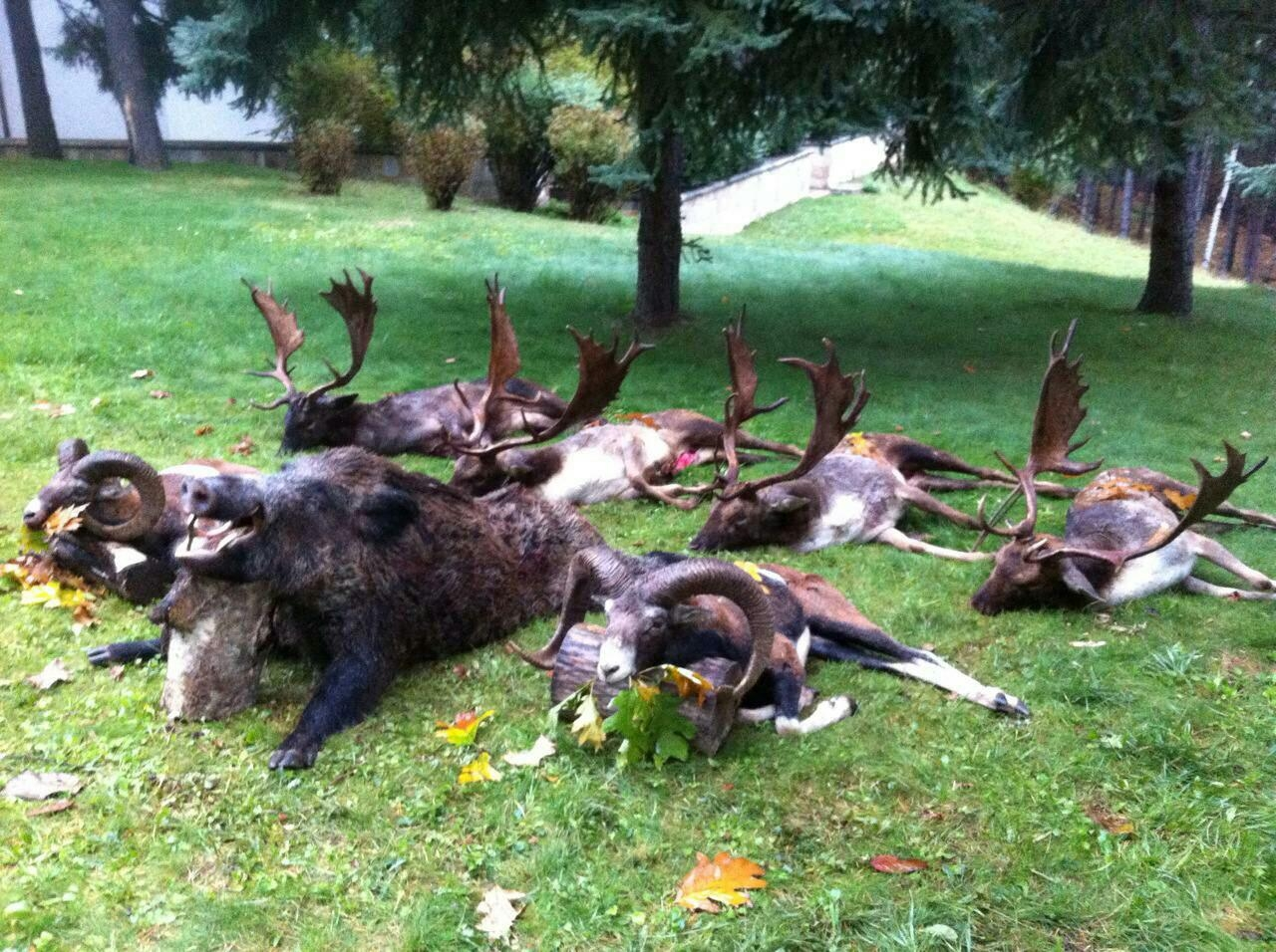 Big Game Trophies Hunting Fallow Deer