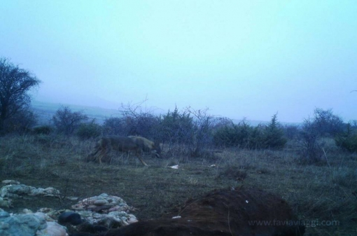Wolf Hunt Macedonia