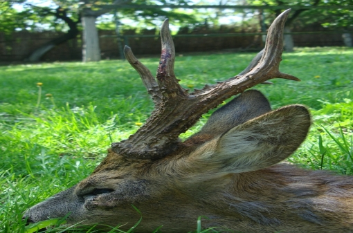 Hunt Roe Deer in Europe