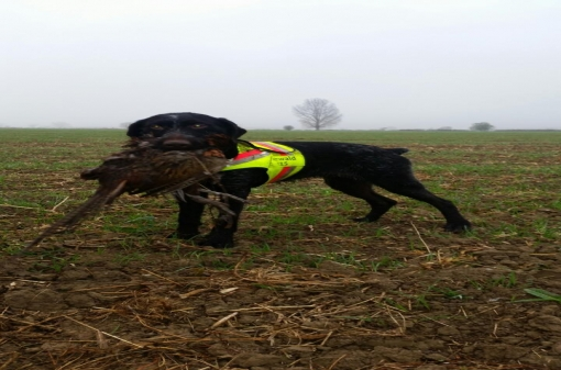Pointing Dog Pheasant Hunting