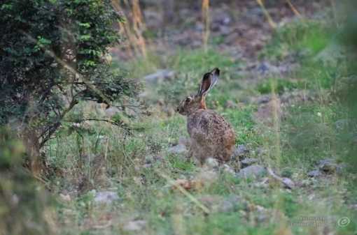 Hare Hunting Trips in Bulgaria