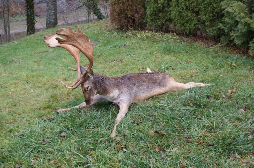 Big Game Fallow Deer Trophy