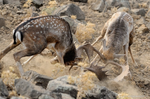 Hunt Fallow Deer in Europe