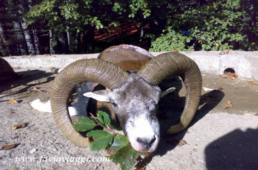 Mouflon Hunting Trophy