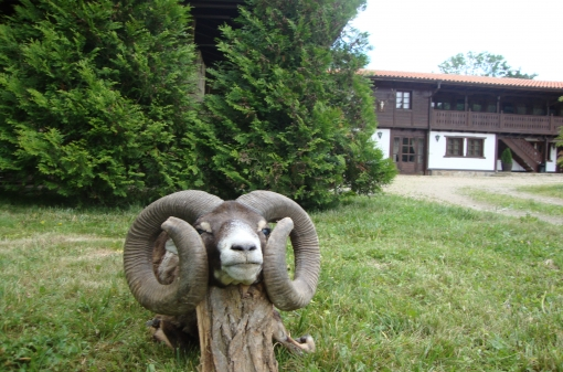 Mouflon Trophy Hunt