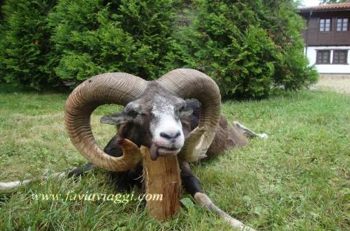Trophy Mouflon Hunting