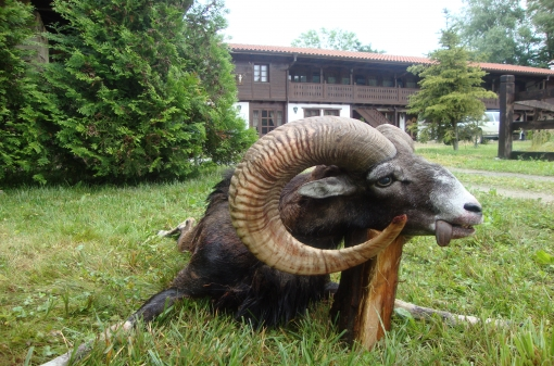 Hunt Mouflon in Bulgaria