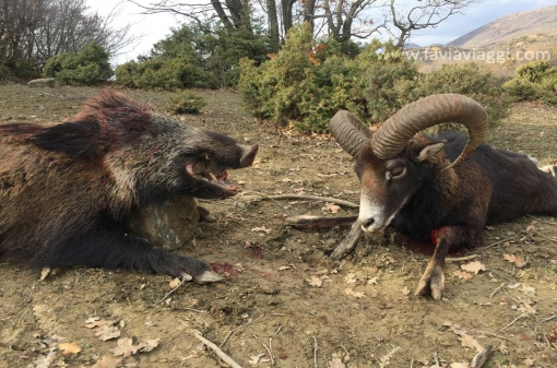 Big Game Mouflon Hunt